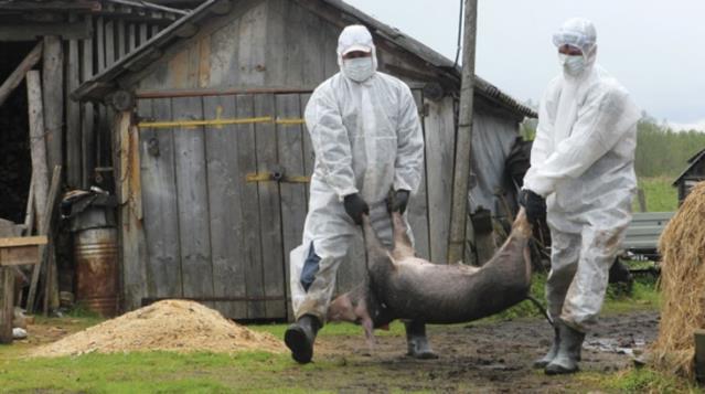 Koronanın çıkış noktası olan Çin'den bir korkutan haber daha: Çiftlikte domuz vebası tespit edildi